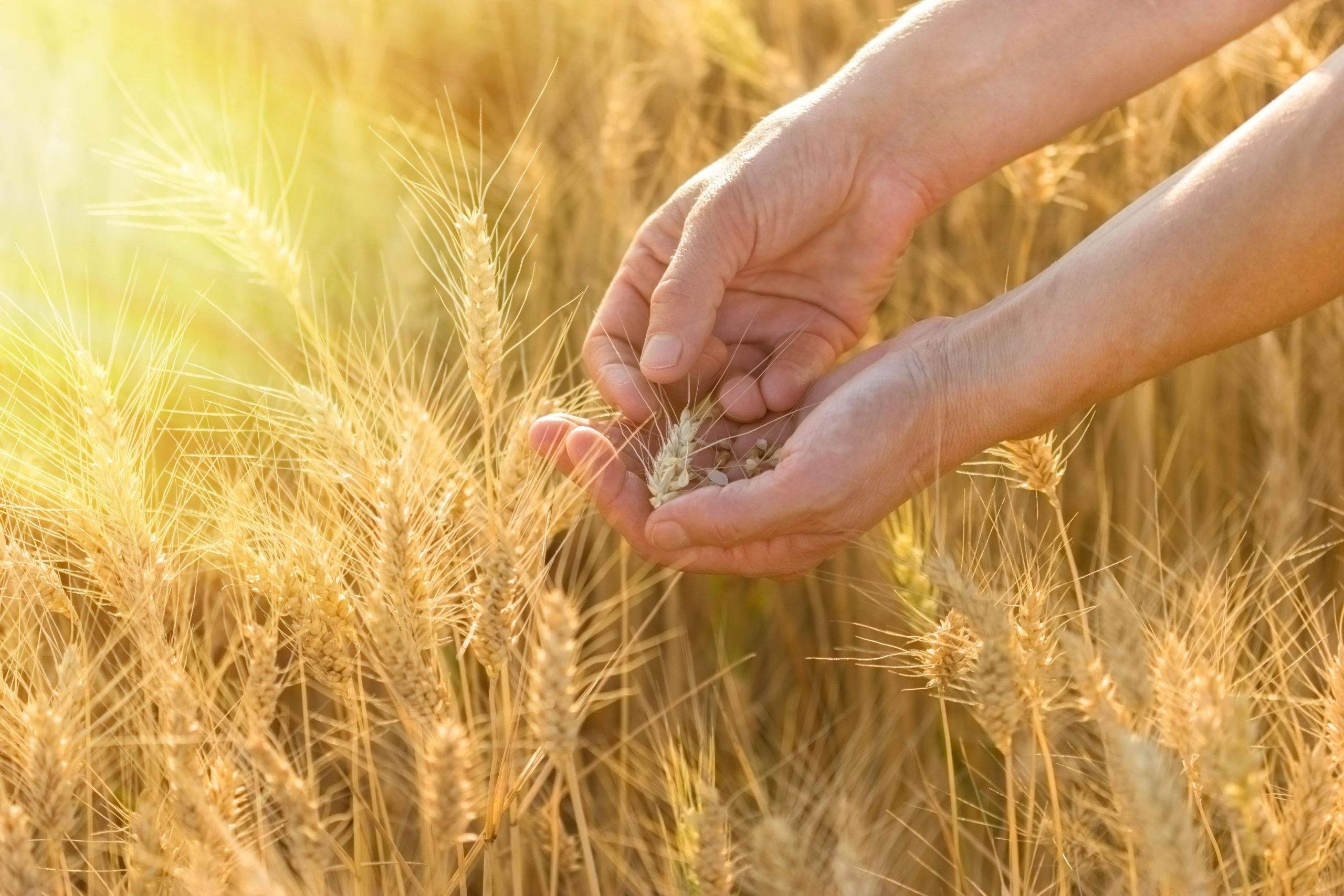 vecteezy_wheat-in-hands-at-the-end-of-the-day-a-farmer-checks-the-wheat_1336254-min